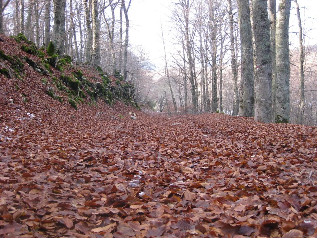 tappeto rosso nel bosco di faggi